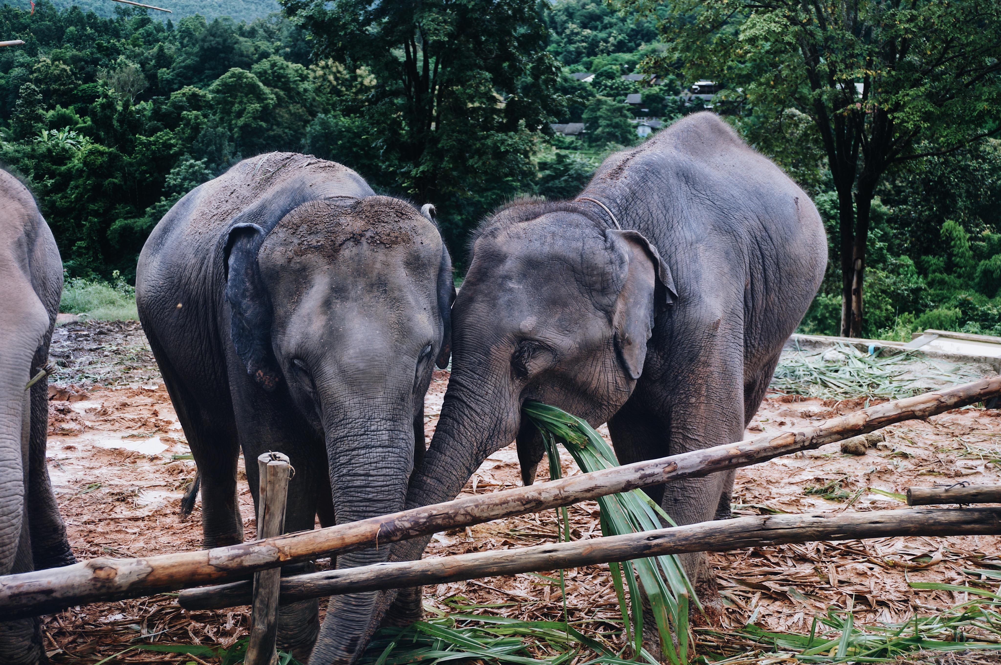 zwei Elefanten beim Essen