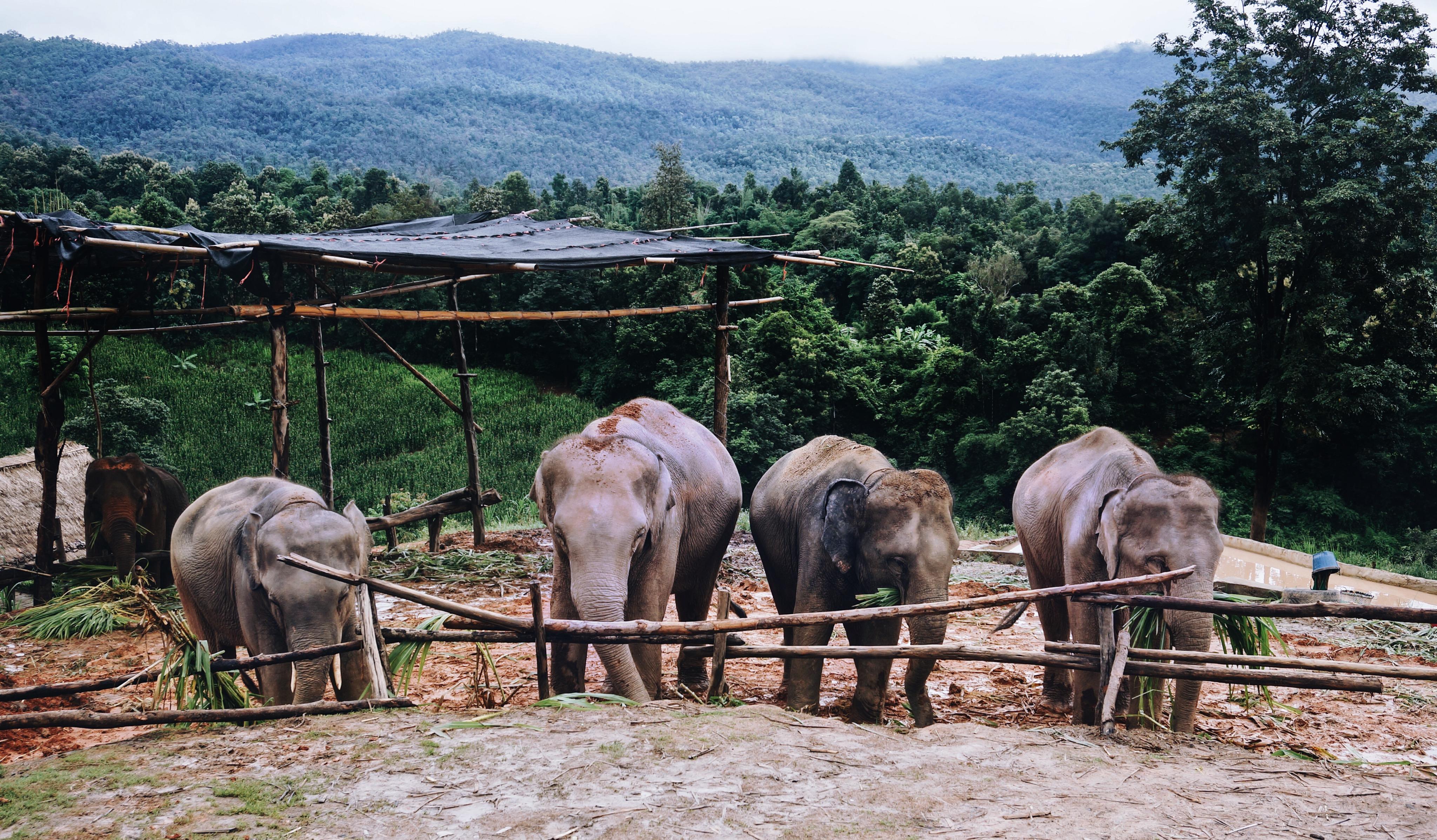 Elefanten, ethisches Elefantencamp in Thailand, Chiang Mai, kein Reiten oder Quälen