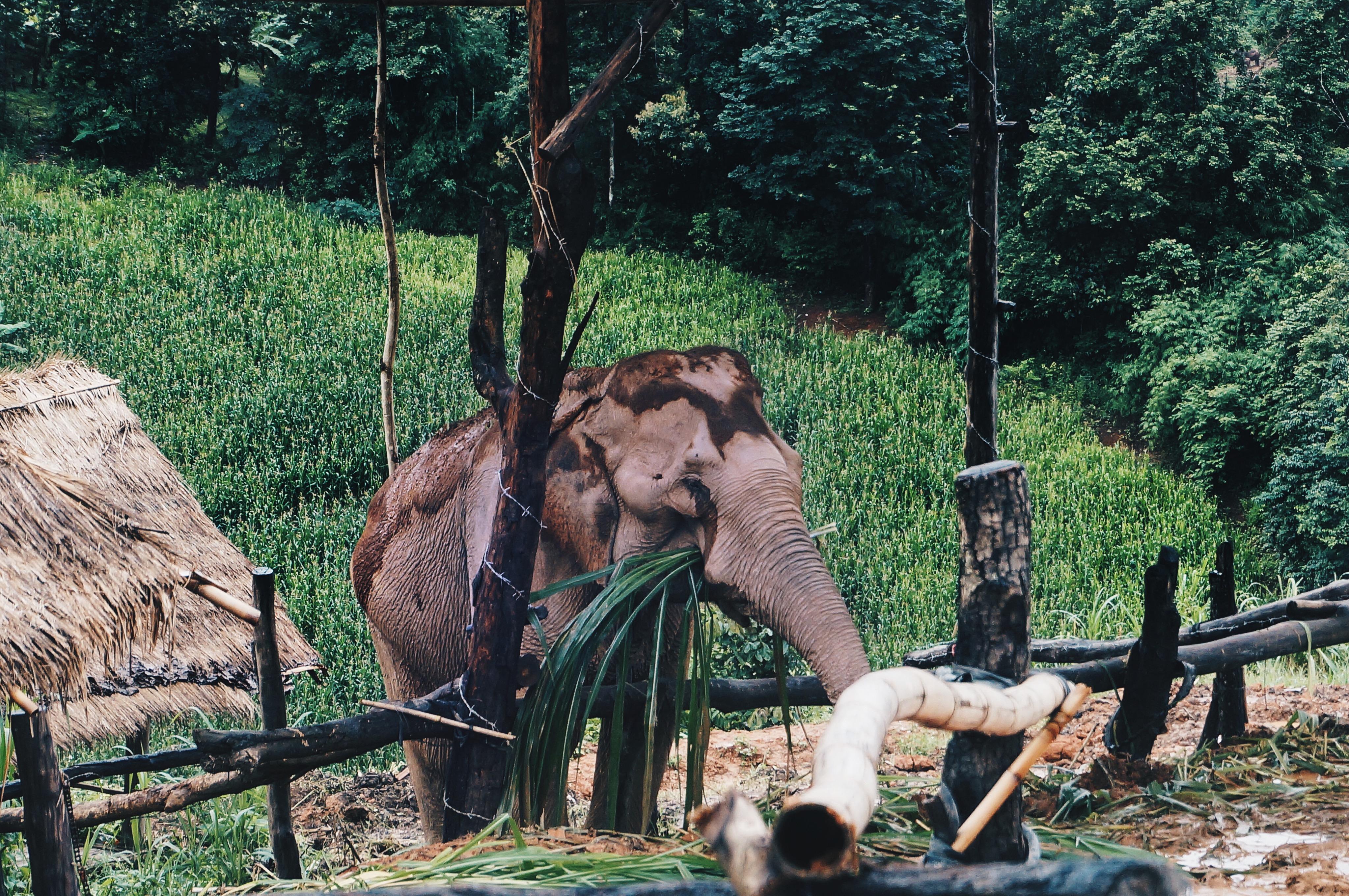 essender Elefant in Thailand, Elefantencamp Thailand, ethisch vertretbar, Chiang Mai