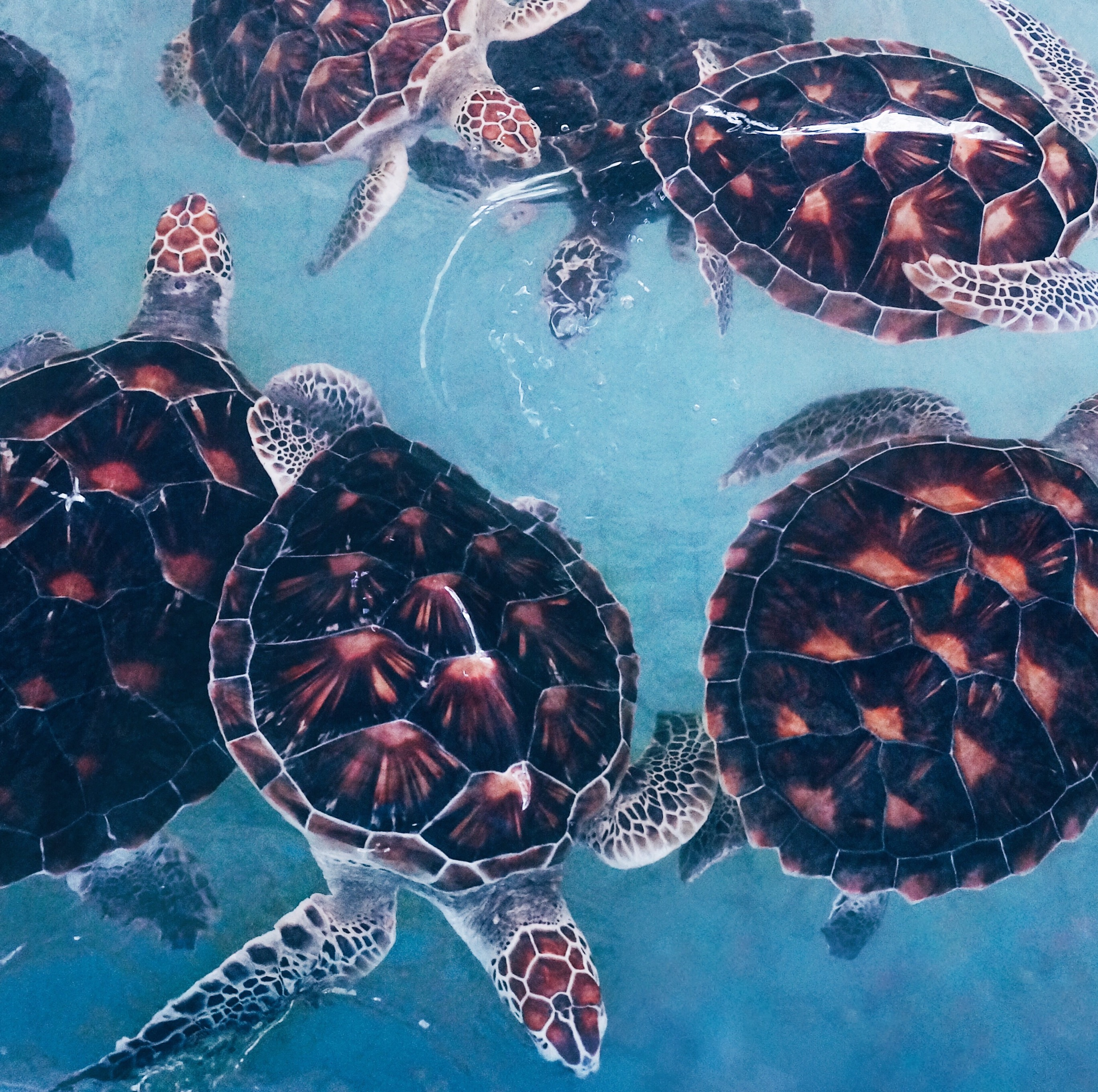 Schildkröten sehen, Schildkröten in Thailand