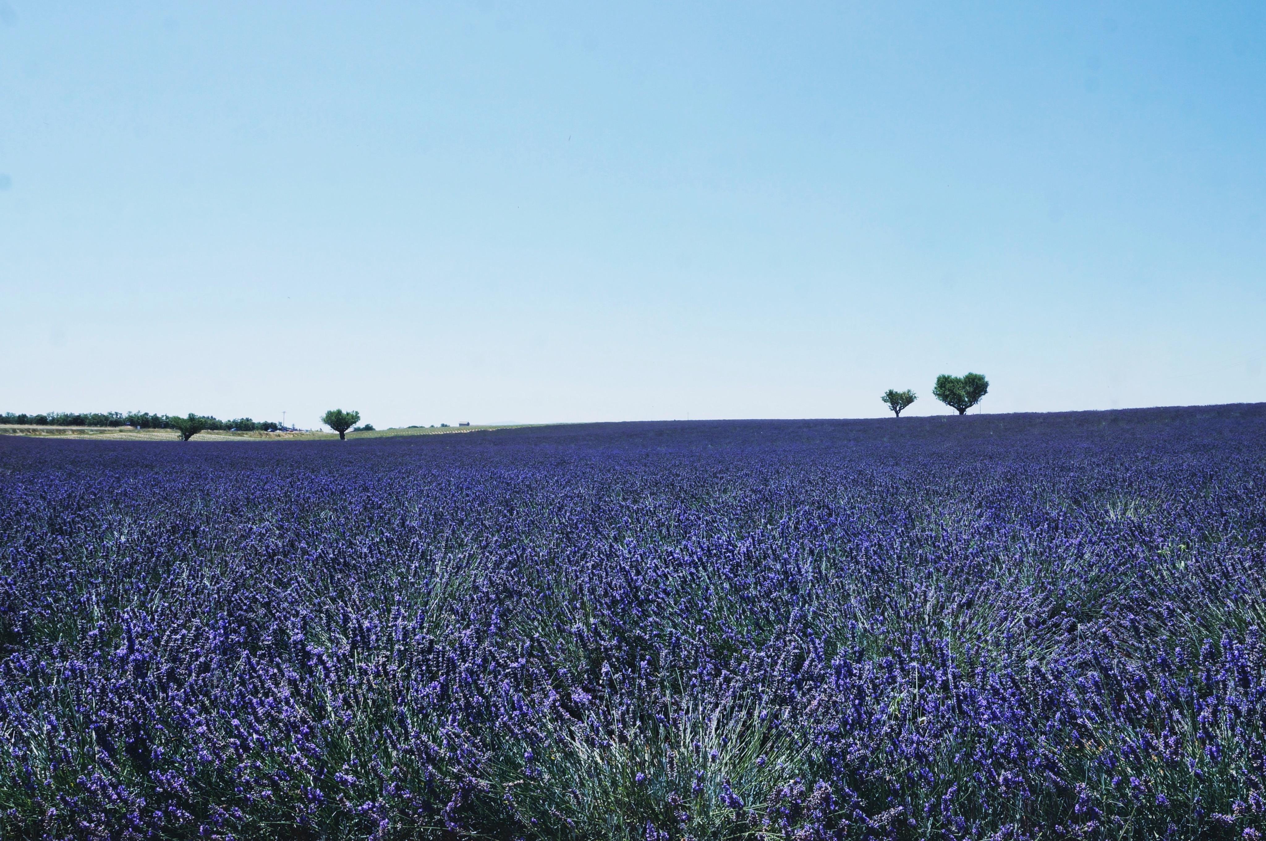 Lavendelfelder, Valensole, Provence Frankreich, Reisen, Weltwunder, schön, Natur, Felder