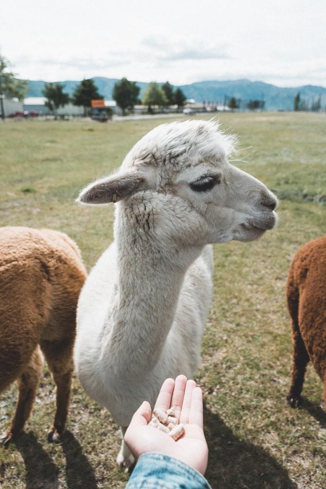 101 cute alpaca gifts – guift guide for alpaca & llama lovers
